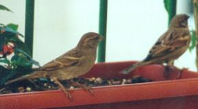 House sparrows on our balcony